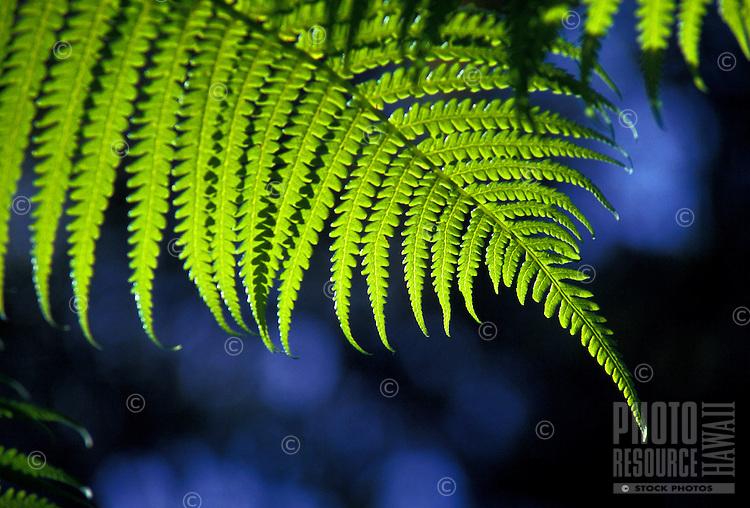 Native Hapuu fern, cibotium. Kokee, Kauai