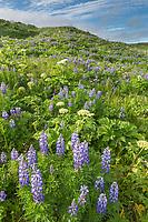 Field of lupine wildflowers and wild celery, Katmai National Park, Alaska Peninsula, southwest Alaska.