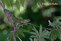 CH34-546z  Male Jackson's Chameleon or Three-horned Chameleon tongue flicking to catch insect prey, Chamaeleo jacksonii