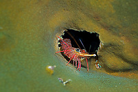 cleaner shrimp, Rhynchocinetes uritai, Shikine-jima island, Tokyo, Japan, Pacific Ocean