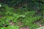 Rock cap fern in swamp area