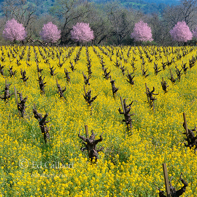Old Vine Zinfandel, Mustard, Plum Blossoms, Calistoga, Napa Valley, California