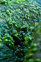 Limu pahapaha (or lipahapaha, sea lettuce, seaweed) at Polihale Beach, Kaua'i.