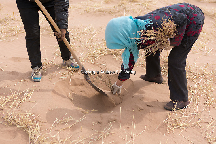 Workers plant seedlings of sacsaoul in the desert area as part of an afforestation project in Minqin county of northwestern China's Gansu province, 11 March 2017. Minqin county is located in between the Tengger Desert and the Badain Jaran Desert.