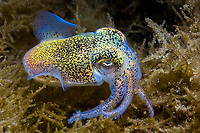 Southern Dumpling Squid, Euprymna tasmanica, These amazing squid put on amazing light/colour displays which are fuelled by a bioluminescent bacteria present inside their bodies. They use this light organ to cancel out their silhouette from predators on the seafloor, Coffin Bay, South Australia, Australia, Southern Ocean