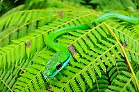 Parrot snake or Lora falsa Leptophis ahaetulla, Selva Verde Nature Reserve, Sarapiqui region, Costa Rica