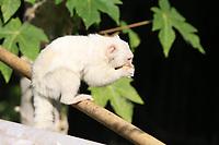 Jundiaí (SP), 12/05/2021 - Fauna-SP - Macaco albino é visto em mata de Jundiaí nesta quarta-feira (12).