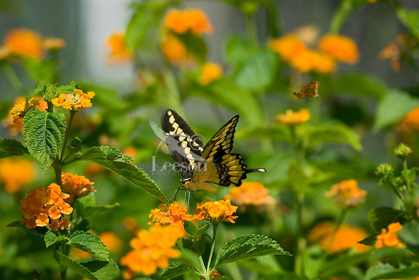 Giant Swallowtail Butterfly (Papilio cresphontes) nectaring.