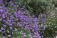 Verbena lilacina cultivar 'De La Mina' (syn. Glandularia lilacina) flowering California native perennial at Rancho Santa Ana Botanic Garden