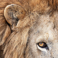 There are few things in nature more intimidating than the stare of a male lion.