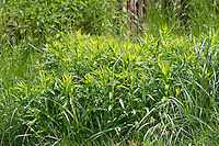 Kanadische Goldrute, Blatt, Blätter, Solidago canadensis, Canada Goldenrod