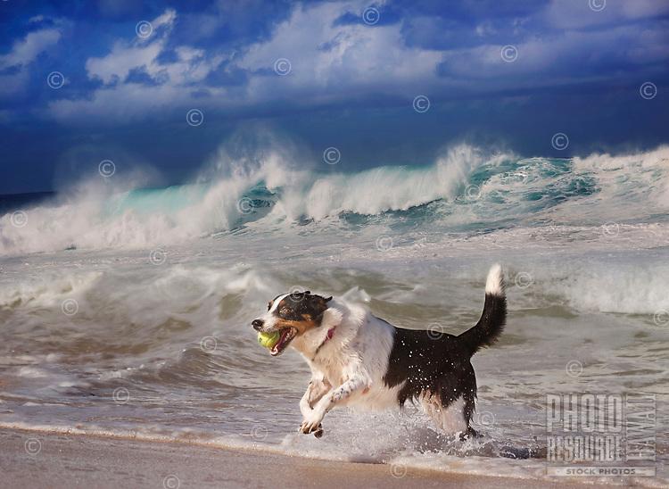 A dog plays with a tennis ball in the shore break, 'Ehukai Beach Park, North Shore, O'ahu.