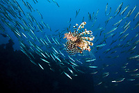 A lionfish (Pterois miles) swims among a school of yellowtail barracuda (Sphyraena flavicauda) on Boonsung Wreck, Andman Sea, Thailand