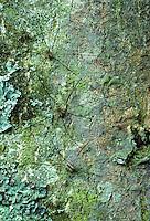 Hooiwagen  (Phalangium spec )