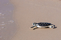 Australian flatback sea turtle hatchling, Natator depressus (c-r), approaches ocean after emerging from nest, Crab Island, off Cape York Peninsula, Torres Strait, Queensland, Australia