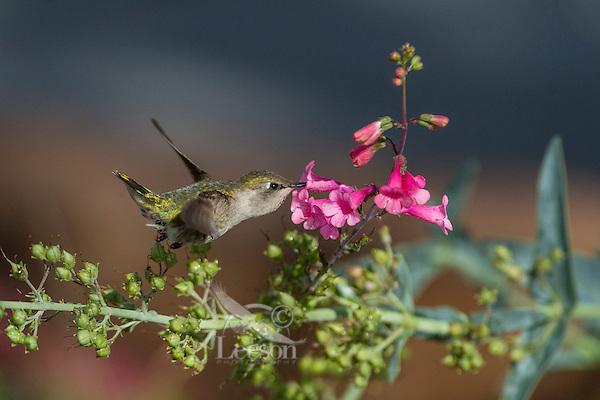Female Anna's Hummingbird (Calypte anna) feeding on Parry's Penstemon (Penstemon parryi) wildflowers.  Arizona.  Feb-March.