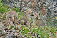 Wild Coyote (Canis latrans) pups playing not far from their den.  Western U.S., June.