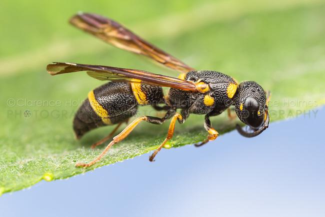 Potter Wasp (Parancistrocerus perennis)