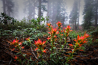 After a rainy evening, these Indian Paintbrush seemed to light up the forest on a foggy, misty morning.