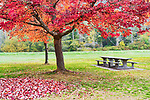 An empty picnick table waits under bright red fall maple leeafs at Belfair State Park, Washington.  Mission Creek, in the background is an active salmon spawning creek, flows through Belfair State Park campground.  Near the city of Belfair, WA along Hood Canal.