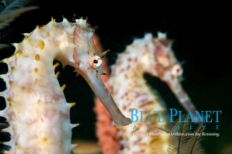spiny seahorse, or thorny seahorse, pair, Hippocampus histrix, Dauin, Philippines, Pacific Ocean