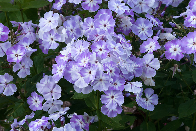 Phlox paniculata 'Grey Lady' (125). Grey Lady is a bushy, upright herbaceous perennial, growing to a height of 1m, with narrow, green leaves and pale lavender-grey clusters of fragrant flowers from midsummer; flowering earlier than many other cultivars