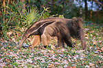 Adult Giant Anteater (Myrmecophaga tridactyla) (sometimes called Giant Ant Bear) foraging. Northern Pantanal, Moto Grosso State, Brazil.