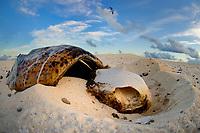 Green Turtle, Chelonia mydas, skeleton, Great Barrier Reef, Australia, Pacific Ocean