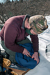 New Hampshire Fish and Game Biological Technician, Brett Ferry conducts a physical exam of a trapped New England cottontaol rabbit habitat inside the Great Bay National Wildlife Refuge.