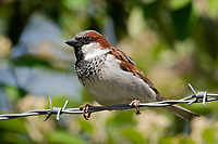 House Sparrow (Passer domesticus). Portland, Oregon. May.
