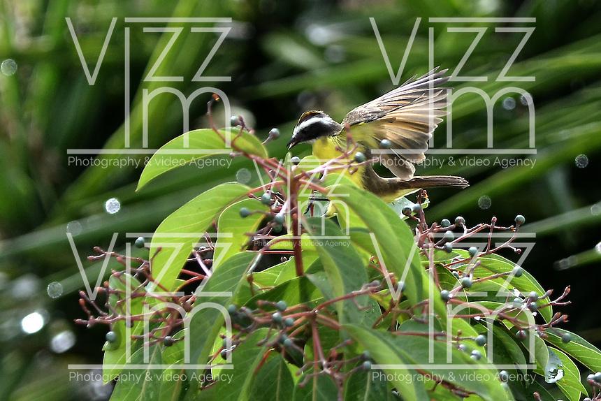 CALI - COLOMBIA, 20-06-2016: Bichofue Griton especie de ave presente en el oeste de Cali. / Bichofue Griton bird species present in western Cali Cali. Photo: VizzorImage/ Gabriel Aponte / Staff