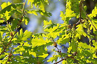 Trauben-Eiche, Traubeneiche, Wintereiche, Eiche, Eichen, Blüte, Blüten, Quercus petraea, Quercus sessilis, Quercus sessiliflora, Sessile oak, Cornish oak, Durmast oak, Irish oak, oak, oakes, Le Chêne rouvre, Chêne sessile