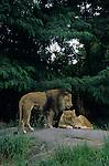 Woodland park zoo lion safari habitat male lion standing and female lioness lying down on rocks Seattle, Washington State USA