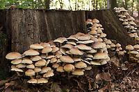 Grünblättriger Schwefelkopf, wächst an Totholz, an Baumstubben, Hypholoma fasciculare, Nematoloma fasciculare, sulphur tuft, sulfur tuft, clustered woodlover