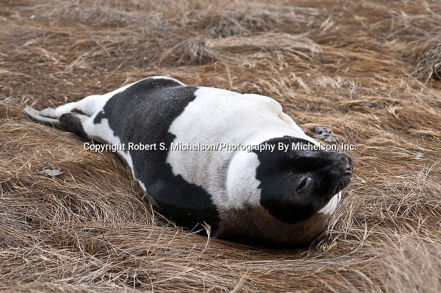 Harp Seal adult resting on salt marsh grass, Weymouth, Massachusetts during snow storm.