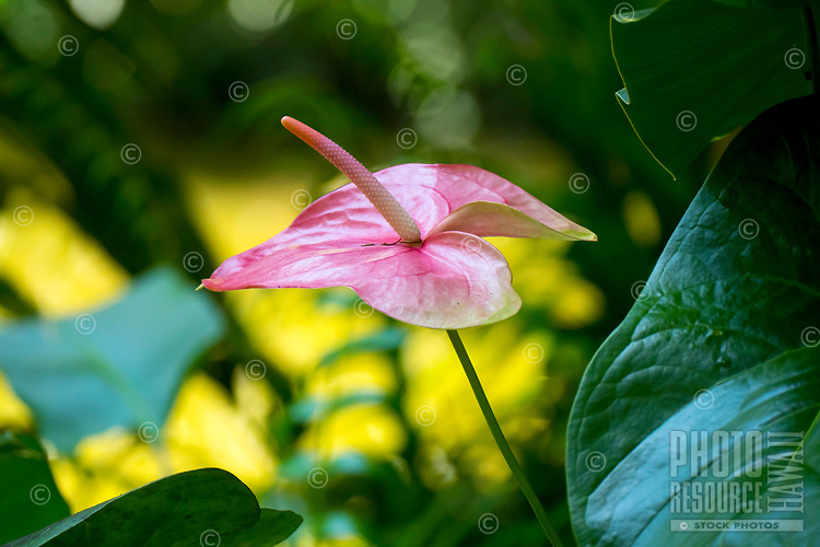 Pink anthurium flower at at Hawaii Tropical Botanical Garden near Onomea Bay in Papa'ikou near Hilo, Big Island of Hawai'i.