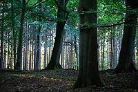 GERMANY, Aumuehle, forest / Deutschland, Aumühle, Sachsenwald, Mischwal, Laub und Nadelbaum