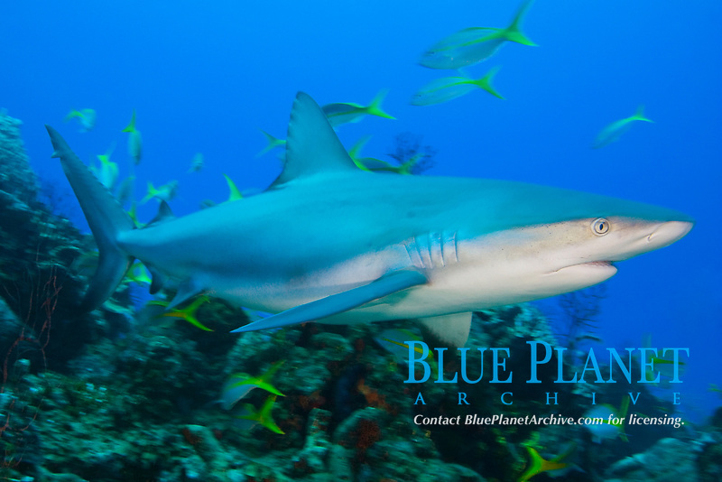 Caribbean reef shark, Carcharhinus perezii, West End, Bahamas, Atlantic Ocean