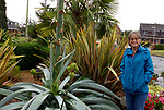Pictured:  Julie Crook stood next to the agave plant which has sprouted a 25 foot stem in the front garden of her home in Andover, Hampshire.<br /> <br /> An exotic 'tequila plant' has suddenly rocketed to 25ft in height after mysteriously sprouting in a couple's front garden after two decades lying dormant.  The giant agave's stalk unexpectedly began shooting up 12 weeks ago and now towers over owners Rob and Julie Crook's two-storey home in a little cul-de-sac.<br /> <br /> The grandparents-of-two have been left stunned by the plant's 'Jack and the Beanstalk' type growth after planting it in 2005.  Mrs Crook was gifted a six-inch pup - an offspring of the parent plant - by a friend 20 years ago after her fascination with the asparagus-like shrub.<br /> <br /> But the 59-year-old said she never expected the agave to grow to such heights at the front of the couple's home in the small Hampshire village of Charlton.  SEE OUR COPY FOR DETAILS.<br /> <br /> © Solent News & Photo Agency<br /> UK +44 (0) 2380 458800