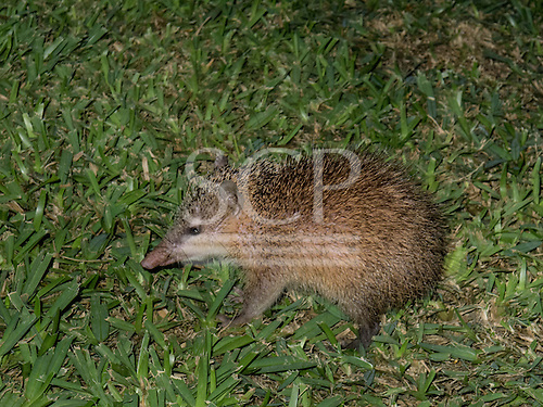Flic en Flac, Mauritius. La Pirogue tourist resort. Tenrec looks like a hedgehog but is furry. They are not related to the true hedgehogs.