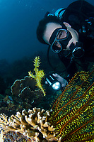 male scuba diver looking at a Harlequin Ghost Pipefish, Solenostomus paradoxus, in yellow Featherstar, TARP, Sabah, Malaysia