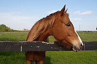 Beautiful brown thoroughbred horse stands next to a fence in a green pasture