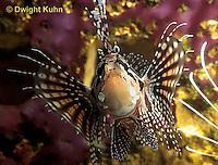 TP03-028z  Dwarfed Lionfish - Zebra Lionfish - Dendrochirus zebra