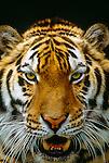Bengal tiger, India (captive)