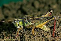 """OR03-043d   Grasshopper - laying eggs in soil, short horned or """"true"""" grasshopper, two-striped grasshopper - Melanoplus bioittatus"""