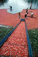 Cranberry harvest with conveyor Warenham MA