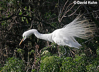0312-0811  Great Egret Performing Breeding Dance, Displaying Breeding Plumage, Ardea alba © David Kuhn/Dwight Kuhn Photography