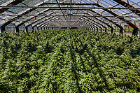 Switzerland. Canton Ticino. Sementina. Fioricultura Martinelli Sagl. New plants of cannabis CBD are grown in glass greenhouses. The business of growing cannabis CBD is registered with the Swiss Federal Health Office. Several Swiss companies cultivate CBD plants in greenhouses as a tobacco substitute or according to medical standards in order to produce blossoms, concentrates, and other CBD products (oils, extracts and tinctures). The Swiss legal requirements have a 1 percent THC limit compare to the European Union (EU) where the THC limit is limited to 0.3 percent. Cannabidiol (CBD) is a phytocannabinoid discovered in 1940. It is one of some 113 identified cannabinoids in cannabis plants and accounts for up to 40% of the plant's extract. Cannabidiol can be taken into the body in multiple ways, including by inhalation of cannabis smoke or vapor, as an aerosol spray into the cheek, and by mouth. It may be supplied as CBD oil containing only CBD as the active ingredient (no included tetrahydrocannabinol [THC] or terpenes), a full-plant CBD-dominant hemp extract oil, capsules, dried cannabis, or as a prescription liquid solution. 24.06.2019 © 2019 Didier Ruef