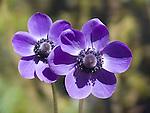 Blue Anemone, Anemone coronaria Mr. Fokker