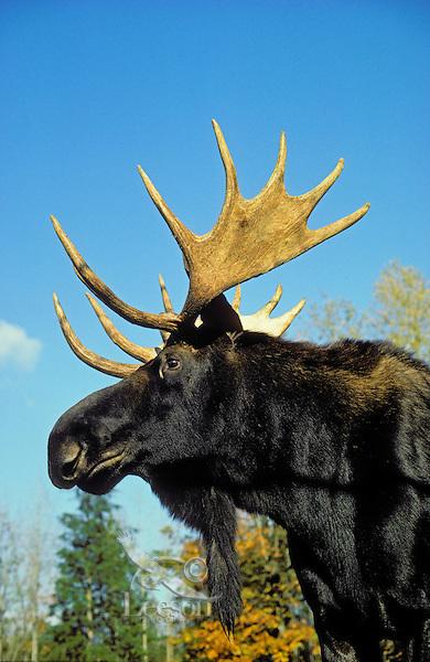 Bull Moose.Autumn. Rocky Mountains..(Alces alces).